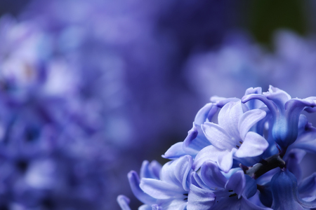 Blue Hyacinth flowers macro photography with blur background in Floriculture Experiment Center of Taipei, Taiwan. Stock Photo