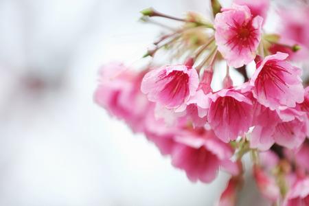Cherry Blossom (Sakura) macro photography with blur background in Taipei, Taiwan.