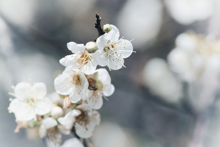 Plum blossom background material in Taipei, Taiwan.