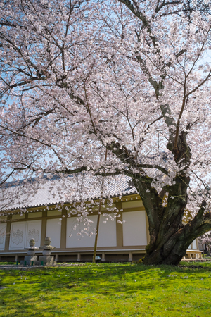 Cherry Blossom at Daigoji Temple (Daigo-ji) in Kyoto, Japan.