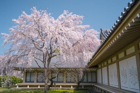 Weeping Cherry Blossom at Daigoji Temple (Daigo-ji) in Kyoto, Japan.