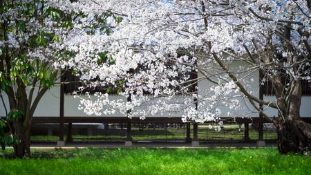 Someiyoshino (Somei-Yoshino) Cherry Blossom at Daigoji Temple (Daigo-ji) in Kyoto, Japan.
