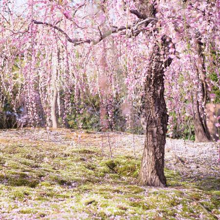 Weeping Plum Blossom at Jonangu Shrine (Jonan-gu) garden in Kyoto, Japan. Stock Photo