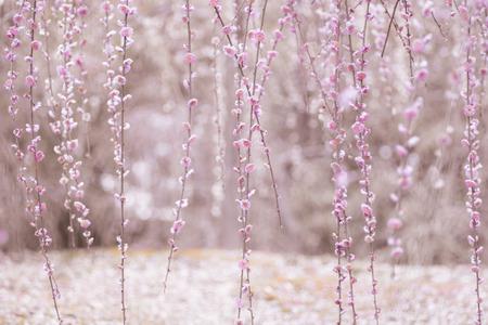 Weeping Plum Blossom in pink background from Jonangu Shrine (Jonan-gu) garden in Kyoto, Japan.