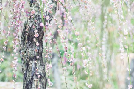 Weeping Plum Blossom in green background from Jonangu Shrine (Jonan-gu) garden in Kyoto, Japan.