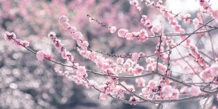 Plum Blossom at Kitano Tenmangu Shrine in Kyoto, Japan.