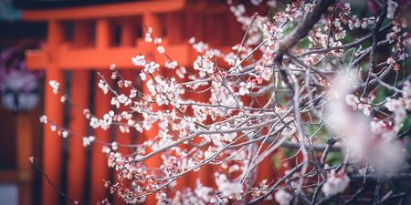 Plum Blossom with Torii from Kitano Tenmangu Shrine in Kyoto, Japan.