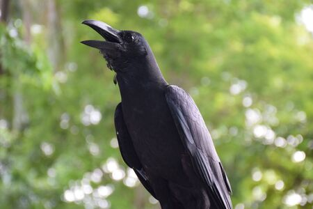 big: Big Crow Stock Photo