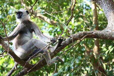 gray langur: Hanuman Langur Monkey on the branch at Anuradhapura Sri Lanka Stock Photo