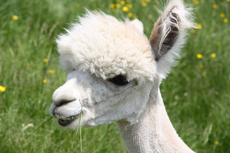 shaved: Young white alpaca face shaved