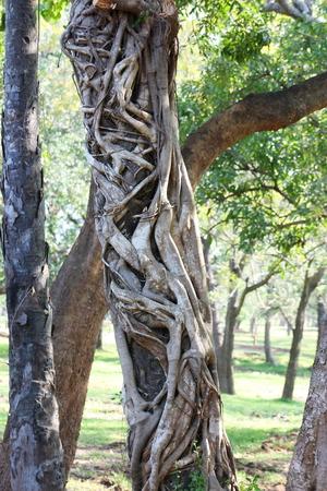 strangler: Strangler tree in Sri Lanka Stock Photo