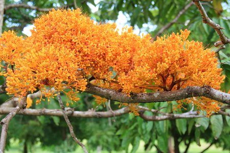 ashoka: Ashoka tree saraca asoca Sri Lanka