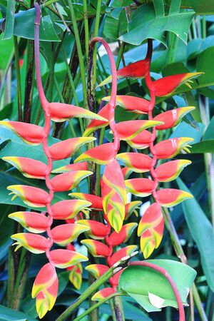 heliconiaceae: Heliconia rostrata Lobster Clawn Plant Sri Lanka