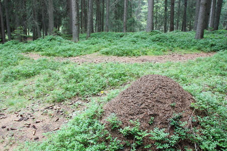 anthill: Anthill in the forest moutain (Dolomites)