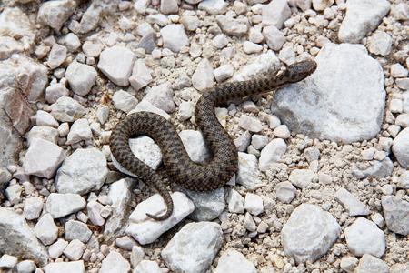 serpentes: Aspic Viper (asp) along an hiking trail