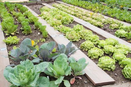 Lattuce とキャベツの野菜の庭