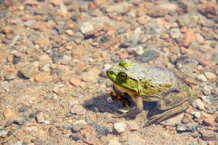 green frog: Green frog in the pond