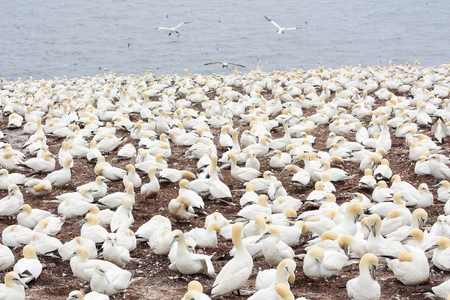 Large colony of northern gannets on Bonaventure Island (Quebec)