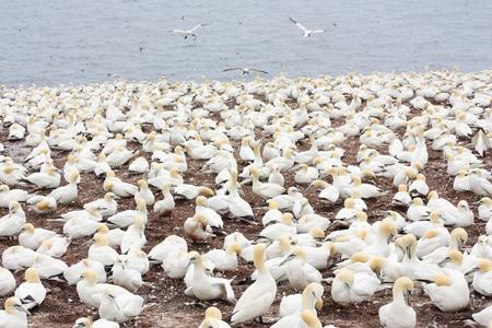 Large colony of northern gannets on Bonaventure Island (Quebec) 版權商用圖片 - 76933917