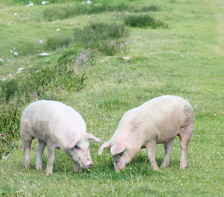Couple of pigs grazing in mountain meadows