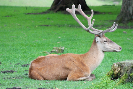 Male horned deer resting in the forest