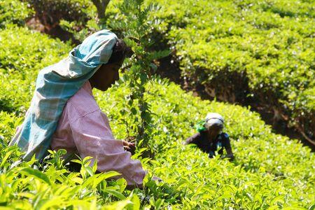 SRI LANKA, NUWARA ELIYA - MARCH 2, 2013: Tamil women with typical colorful dress working in tea plantation Sri Lanka