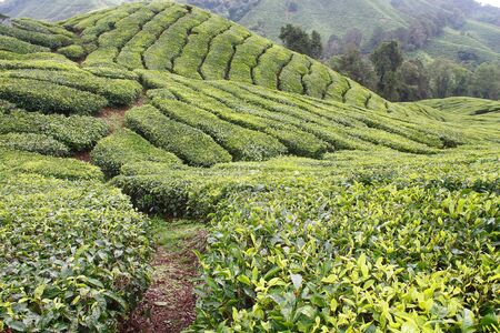 Geometric arrangement of Tea Plantations in Cameron Highlands Malaysia