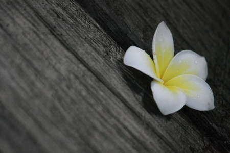 annonaceae: White Cheesewood in thailand Stock Photo
