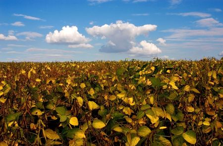 Field with intensive farming of bean  Stock Photo - 7901542