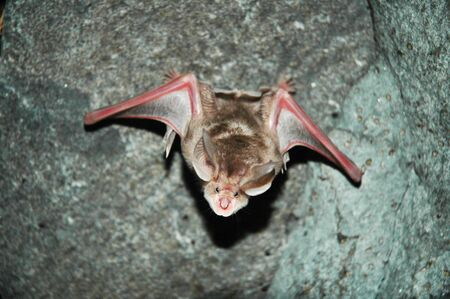 Flying bat in Azokh cave, Nagorno Karabakh