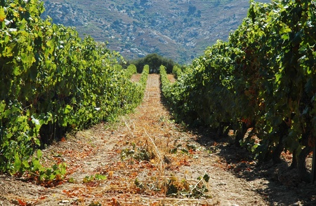 Vineyard in Lumio, Corsica Stock Photo - 11764767