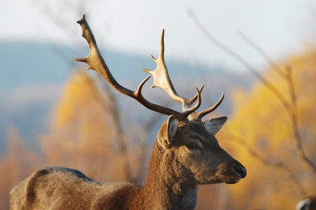 Male stag deer Stock Photo - 11763611