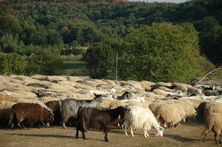 Herd of sheep in Transylvania, Romania Stock Photo - 11902870