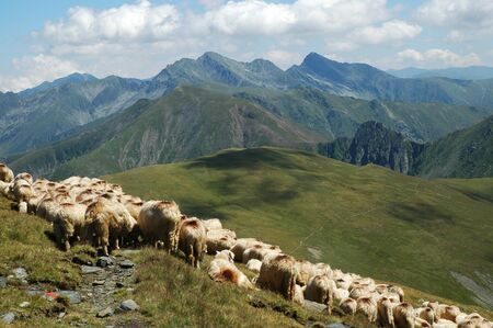 Herd of sheep in Fagaras mountains, Romania  photo