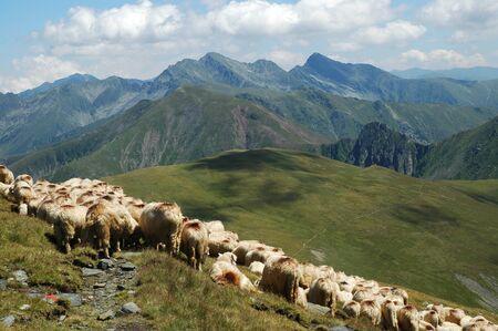 shepperd: Herd of sheep in Fagaras mountains, Romania