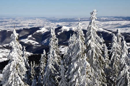 Snow-covered spruces in the mountains  photo
