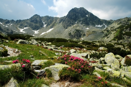 plateau of flowers: Rhododendron in Retezat National Park, Romania