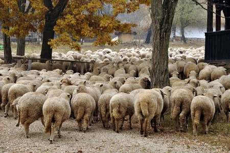 Herd of sheep gathering in Transylvania Stock Photo - 13345892