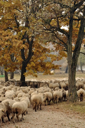 Herd of sheep gathering in Transylvania
