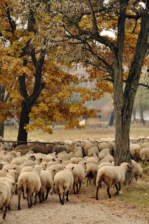 Herd of sheep gathering in Transylvania photo