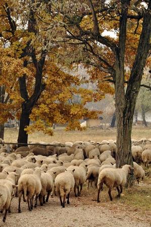 Herd of sheep gathering in Transylvania photo