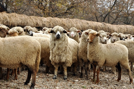 shepherd sheep: Herd of sheep gathering in Transylvania