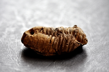 Trilobite fossil from Morocco, from the Paleozoic era photo