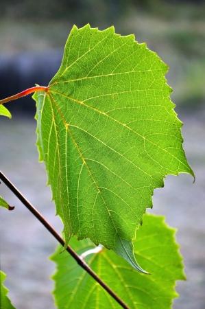 Grape leaf photo