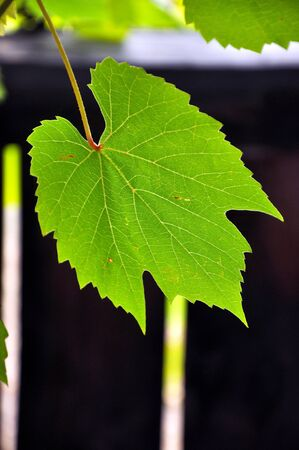 Grape leaf photo