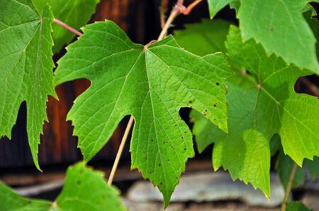 Grape leaves photo