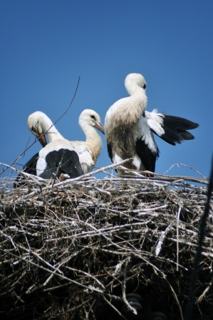 Two storks in the nest photo