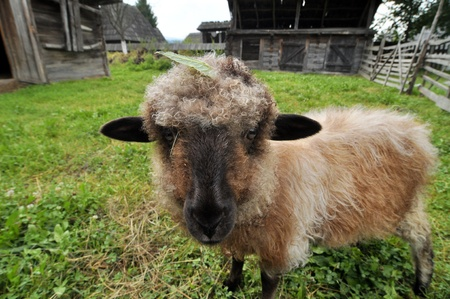 Sheep Stock Photo - 16479104