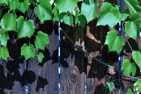 Wooden background with grape leaves photo