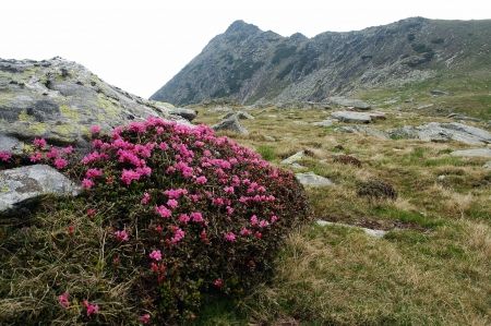 Rhododendron in Retezat National Park, Romania Stock Photo - 17294997